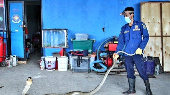 Petugas Damkar Purwakarta, Muhammad Ashar Rizal saat menunjukan ular yang berhasil ia evakuasi di Perumahan Panghegar, Kecamatan Babakancikao, Kabupaten Purwakarta, Kamis (23/9/2021)
