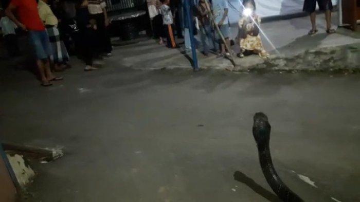 Ular King Kobra Bikin Resah Warga Karangtawang Kuningan, Warga Telepon Pawang Ular, Auto Ditangkap