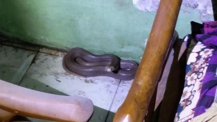 Nenek di Indramayu Ini Kaget Lihat Ular Kobra Melingkar di Atas Tubuhnya, Semburkan Bisa ke Mata