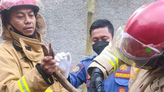 Heboh Ular Sanca 2,5 Meter 'Santap Sahur' Seekor Ayam, Ditemukan Warga Ciamis Meringkuk di Kandang