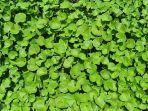 6-manfaat-daun-pegagan-tanaman-liar-dengan-khasiat-yang-melimpah.jpg