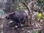 babi-hutan-alias-bagong-memasuki-perkampungan-garut.jpg
