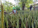 bibit-mangrove-di-pabean-ilir.jpg