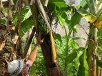 buah-pisang-tumbuh-di-tengah-batang-pohonnya.jpg
