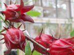 bunga-rosella.jpg