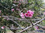 bunga-sakura-mekar.jpg