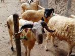 domba-di-pasar-hewan-di-kuningan.jpg