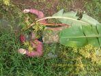 mayat-perempuan-tanpa-identitas-ditemukan-dalam-parit-sawah-kelurahan-mekarjati-karawang.jpg