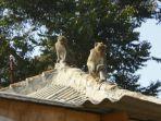 monyet-curug.jpg
