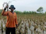 padi-rusak-akibat-banjir-petani-di-indramayu-hanya-bisa-pasrah-padahal-sebentar-lagi-panen.jpg