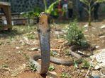 petugas-damkar-kuningan-berhasil-tangkap-ular-king-kobra1.jpg