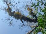 pohon-dangdeur-yang-menjadi-lokasi-tumbuhnya-batang-pohon-pisang1.jpg