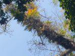 pohon-dangdeur-yang-menjadi-lokasi-tumbuhnya-batang-pohon-pisang2.jpg
