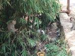 ratusan-monyet-liar-huni-kebun-bambu-di-belakang-rsud-45-kuningan.jpg