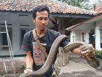 rentul-pawang-ular-di-kuningan-miliki-king-kobra-mirip-garaga-panji-petualang1.jpg