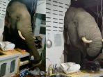 seekor-gajah-jebol-dinding-dapur-rumah-warga-tengah-malamm.jpg