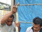 seekor-ular-piton-atau-sanca-cianjur-kamis-142021.jpg