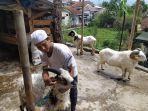seorang-warga-cianjur-memiliki-domba-garut-bertanduk-limaa.jpg