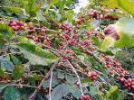 tanaman-kopi-di-wilayah-blok-cibunar-desa-linggajati-kecamatan-cilimus-kuningan2.jpg