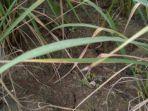tanaman-padi-milik-petani-di-wilayah-kecamatan-kroya-yang-dilanda-bencana-kekeringan.jpg
