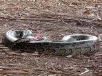 teka-teki-hilangnya-ayam-warga-di-cianjur-terjawab-ular-sanca-seberat-17-kilogram-tertangkap.jpg