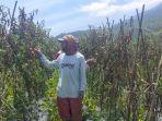 tomat-dan-sawi-putih-dibiarkan-membusuk-di-kebun-lantaran-harga-anjlok.jpg