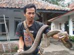 ular-king-kobra-mirip-garaga-berbobot-11-kg-berhasil-dievakuasi-warga.jpg