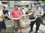 ular-piton-ditangkap-polisi.jpg