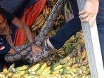 ular-piton-masuk-pasar.jpg