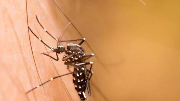 ilustrasi nyamuk penyebab demam berdarah