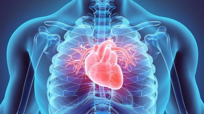 Ilustrasi organ jantung