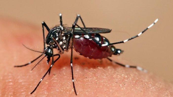 Pencegahan Infeksi Virus Dengue, Jangan Sampai Ada Nyamuk Hinggap, Begini Penjelasan Dokter