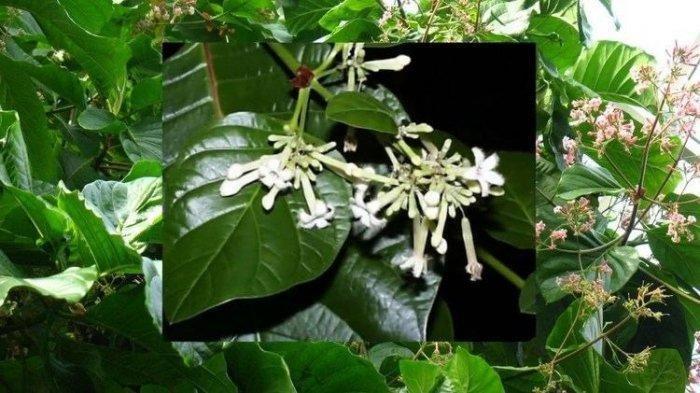 ilustrasi pohon kina