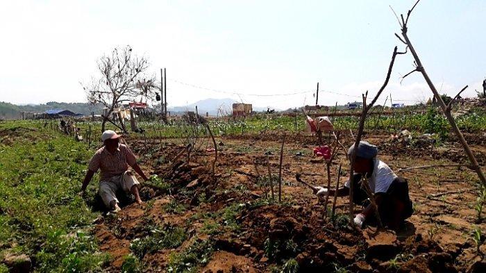 Biar Tak Gagal Panen, Dinas Pertanian Sumedang Sarankan di Musim Kemarau Petani Tanam Palawija