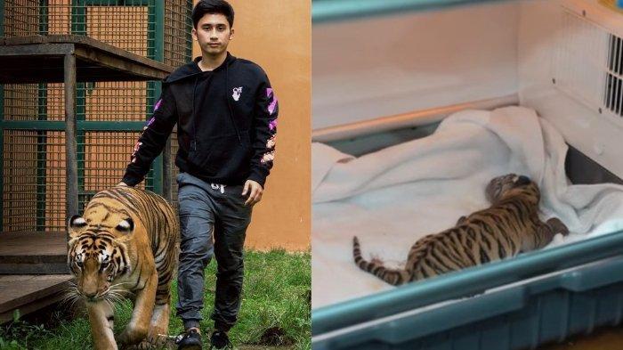 Penampakan Bayi Harimau Milik Alshad Ahmad, Jinora Sudah Melahirkan, tapi Kondisinya Menyedihkan