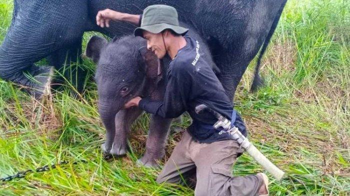 Telah Lahir Gajah Jantan dari Sabana si Gajah Jinak, Kelahiran ke Sembilan Selama Satu Dekade