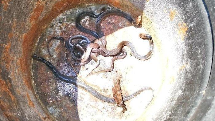Teror Ular Kobra di Purwakarta, Masih Ada yang Berkeliaran, Ini Tips agar Ular Tak Masuk Rumah