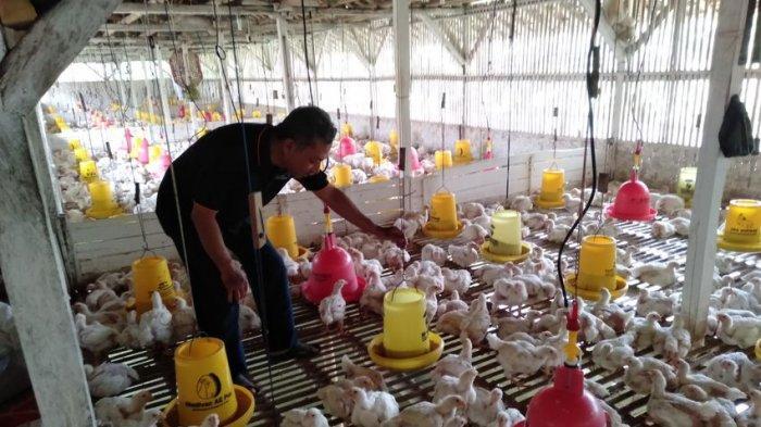 Banjir Surut di Jabodetabek, Harga Ayam Broiler di Tingkat Peternak di Ciamis Kembali Naik