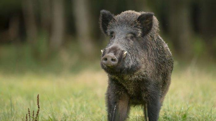 Rusak Pertanian Warga, Lahan untuk Ketahanan Pangan di Kuningan Jadi Sarang Babi Hutan
