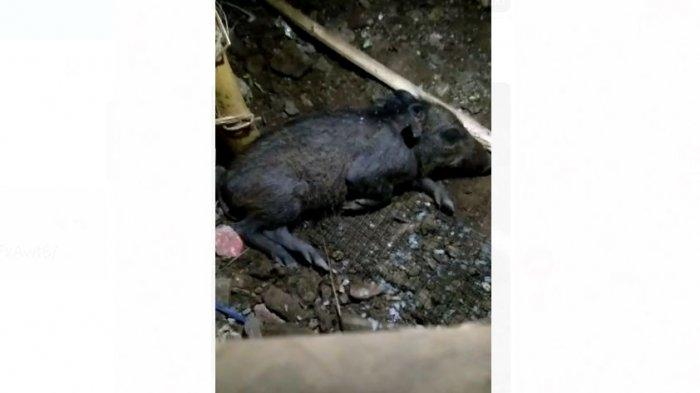Warga di Kelurahan Bedahan, Sawangan, Kota Depok, digegerkan dengan penangkapan seekor binatang babi, yang diduga adalah babi jadi-jadian alias babi ngepet.
