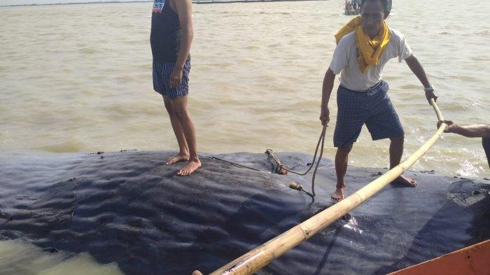 Berangkat Melaut, Nelayan Justru Temukan Bangkai Paus di Perairan Desa Bungko Cirebon