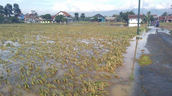 Banjir di Sukaresik Tasikmalaya, Lima Hektare Sawah Sudah Menguning Terancam Gagal Panen