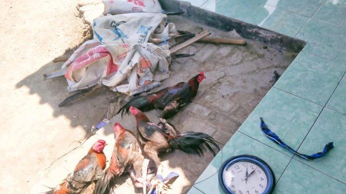 Pelarian Sia-sia Pejudi Sabung Ayam di Karawang, Kabur Tapi Motor Ditinggal dan Disita