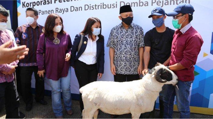 Kolaborasi bank bjb Wujudkan Korporatisasi Peternak Domba ...