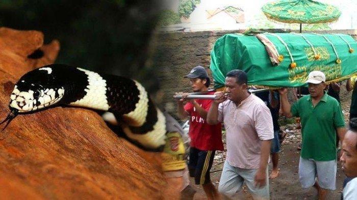 Geger Bocah di Cirebon Tewas Digigit Weling, Lakukan Hal Ini Jika Anda Bertemu Ular Mematikan Itu