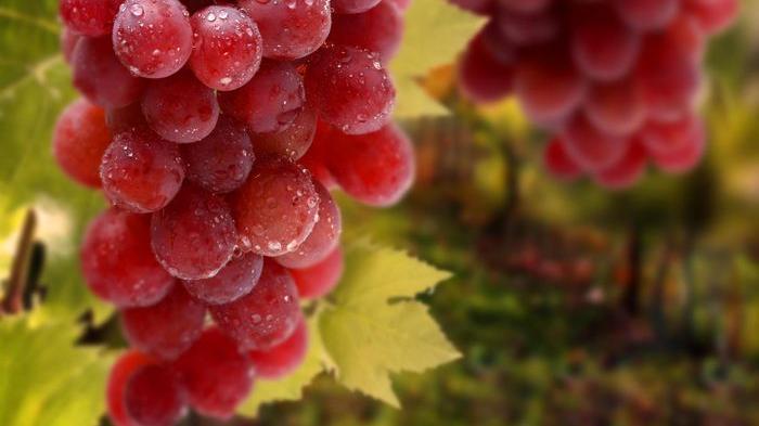 Makanlah anggur merah bersama kulit dan bijinya, karena lebih banyak antioksidannya.