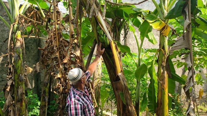 Unik, Buah Pisang di Majalengka Tumbuh di Tengah Batang Pohon, Begini Penjelasan Ahli