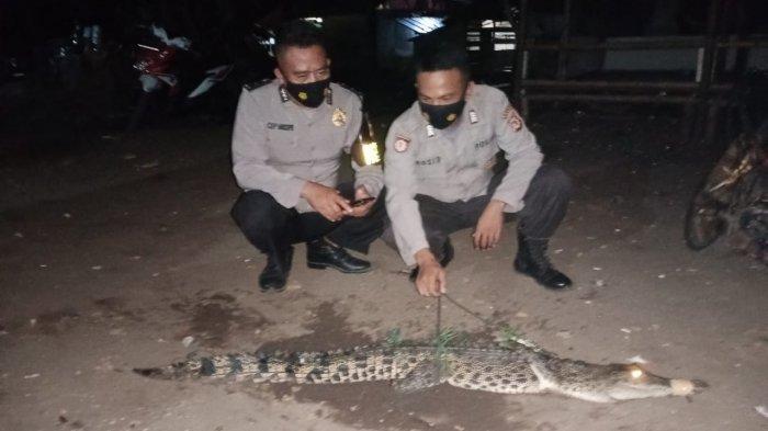 Buaya yang ditangkap nelayan Cidaun, Cianjur