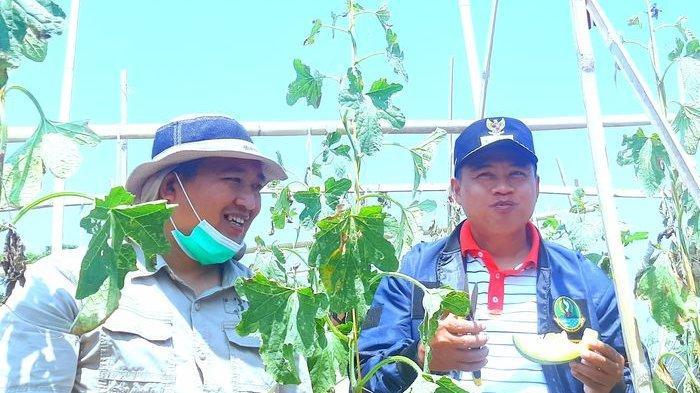 Petik Melon Langsung dari Kebun Petani Milenial di Purwakarta, Kang Uu: di Sini Sejuk Dan Nyaman