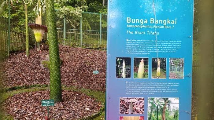 Berawal dari Taman Nasional Kerinci, Kebun Raya Cibodas Kini Memiliki Belasan Spesimen Bunga Bangkai
